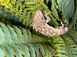 Female Moorish Gecko