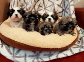 Shih Tzu Pedigree Puppies For Sale