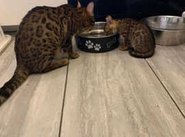 Bengal Cats & Kittens For Sale & Rehome in Southampton
