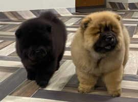 Stunning 2 puppies