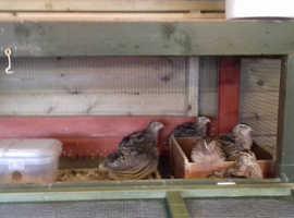Japanese Quail - Breeding Adults