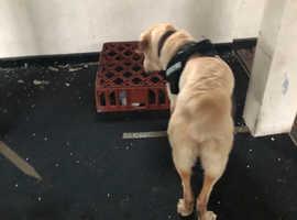 Labrador dog wanted