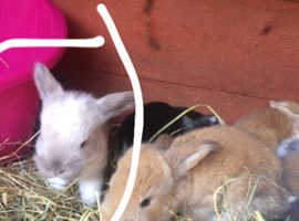 Giant french lop baby ready end of November