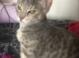 Stunning grey 3/4 Bengal kitten