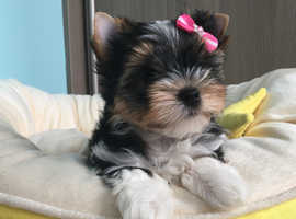 Price Reduced Biewer Yorkshire Terrier