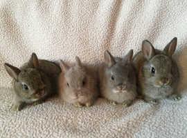 Pure breed Netherlands Dwarfs babies