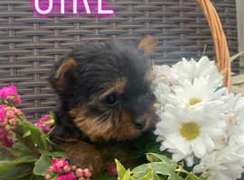Stunning Yorkshire terrier babies