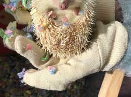 Cute/wonderful african pygmy hedgehog