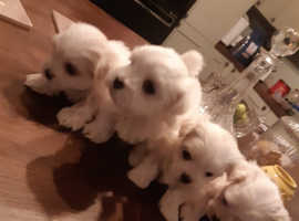 KC Maltese puppies for sale 2 boys, 2 girls available