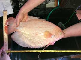 giant golden gourami, 19.5 inch long tropical fish