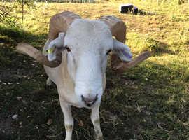 Wiltshire Longhorn Ram