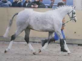 stunning welsh b pony for loan