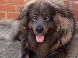 Caucasian Shepherd Blue Male Stud Yellow Eyes