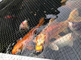 ornamental koi for sale + complete sensory pond setup, including space saving filtration system (if needed) that keeps water clear so it will not go g