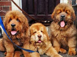 KC registered Champ bloodline Chinese Tibetan Mastiff Puppies