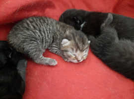 British Shorthair X Kittens
