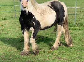 14.1hh coloured cob mare 7yrs.