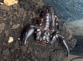 Giant Asian Forest Scorpion