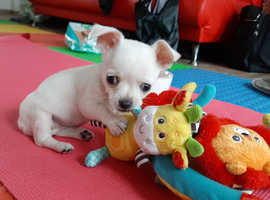 Pure Chihuahua Little Princess