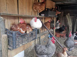 Chickens from £10