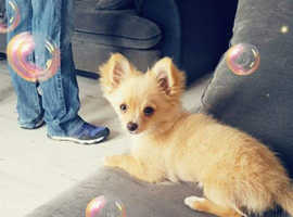 2 year old Chihuahua for sale