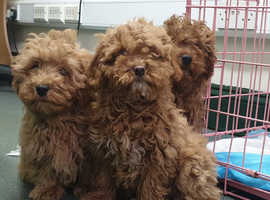 Chocolate & Red Cavapoo's For Sale Vet Checked & Vaccinated