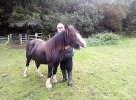 Black mare 4 white socks