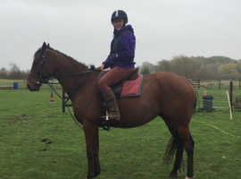 Gentle & kind 4 Year old, 16hh Bay Ex-Racer