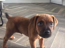 Male Plummer Terrier pup