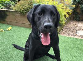 Pet Trained Labrador (Ravenkeeper Gundogs)