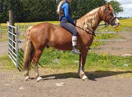 Stunning Welsh D gelding