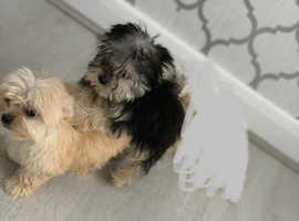 Stunning Maltese X Yorkie Puppies