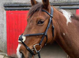Very Flashy 14.3hh mare for sale