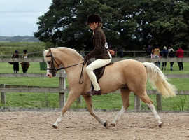 13hh superstar pony