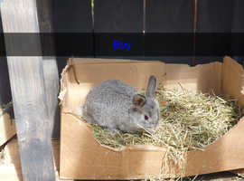 Lion lop baby rabbits ready to leave