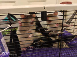 Three girl rats with cage