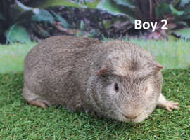 Baby and Older Guinea Pigs