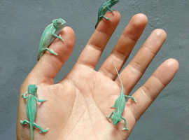 Baby chameleons for sale,males and females available
