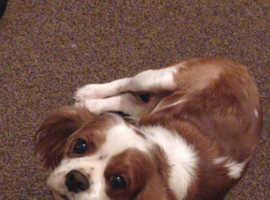 King Charles cavilier spaniel female