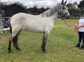 Stunning fully registered filly