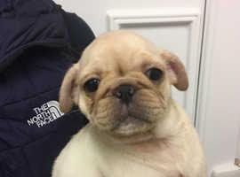 !!!...Pug pups...!!!