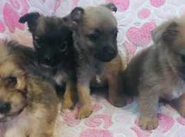 4 beautiful chihuahua x puppies