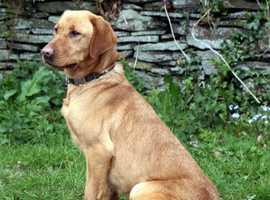 Fox Red Labrador Pups
