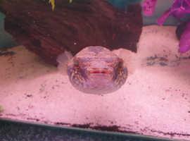 Large Dragon Pufferfish