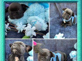 Fabulous Frenchies For Sale