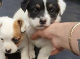 2 Puppies jug x Jack russell
