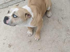 10 Month Merle Blue eyed Boy