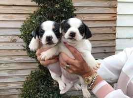 Miniature short legged jack Russell pups