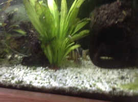 Moving house so looking to rehire two Clown Loach approx. 3 inches long.