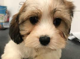 One very sweet shihtzu x bichon pup